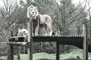 Lion And Lioness On Wooden Platform In Zoo