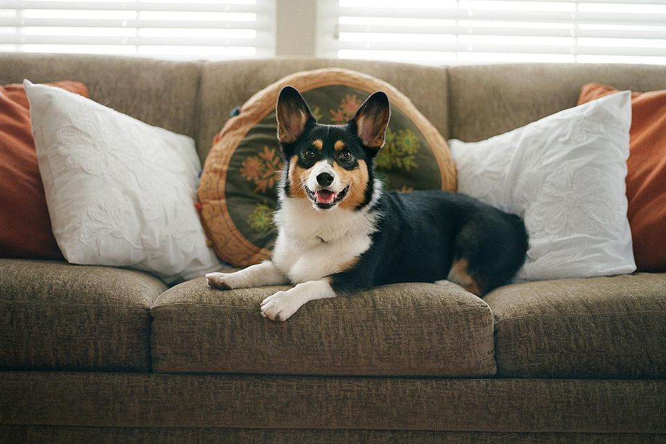 A smiling Welsh Corgi dog relaxes on a couch indoors in soft morning light.