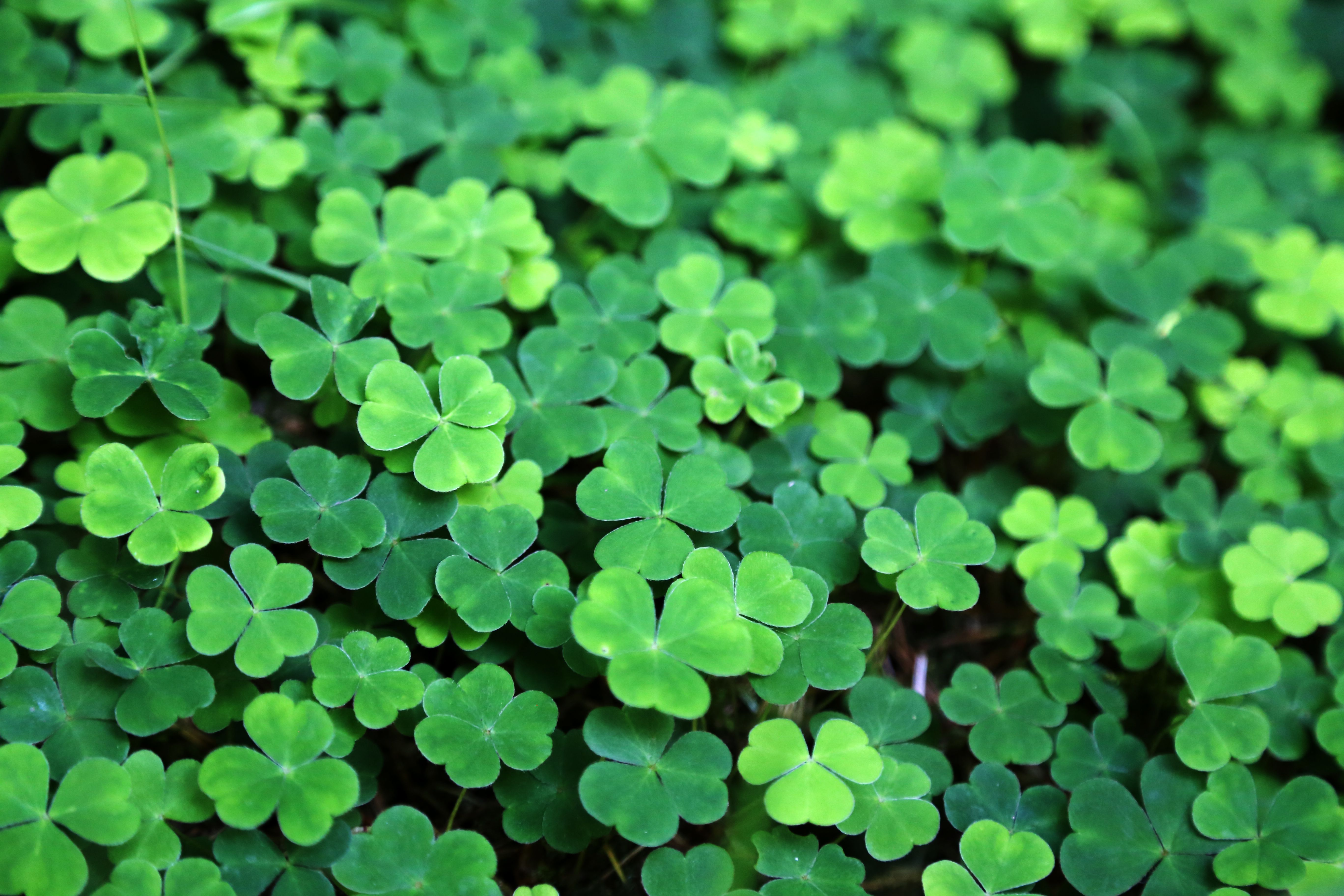 Irish green learn about the various colors of st patrick - Lucky color of the day ...