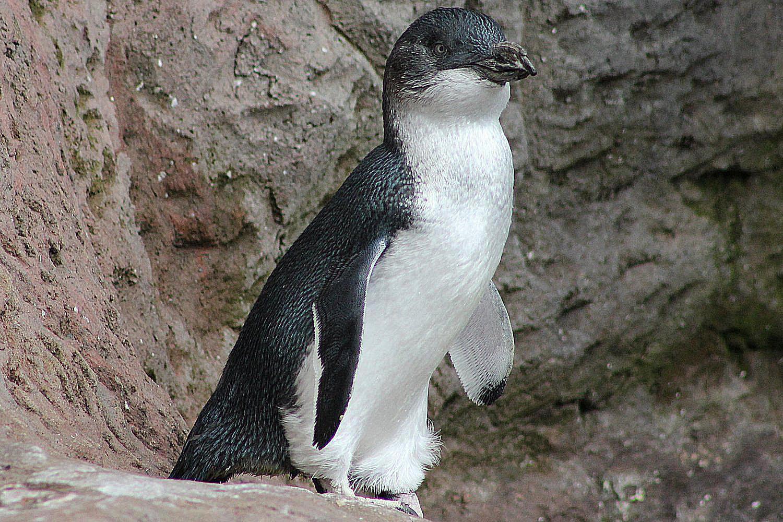 flipper definition do penguins have wings