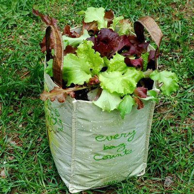 A shopping bag made into a lettuce container garden.
