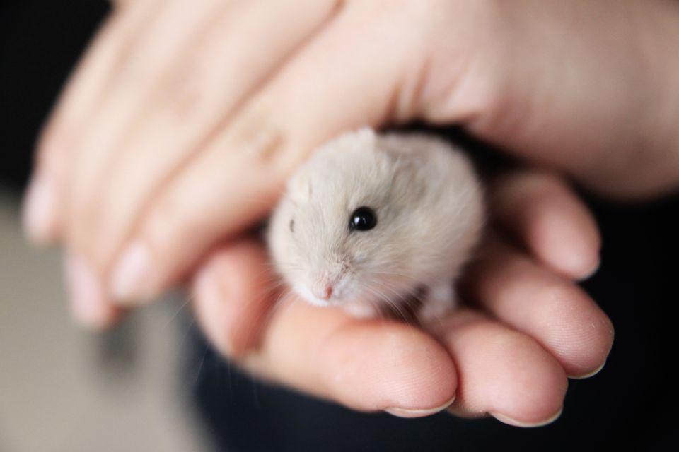 Hamster in hands