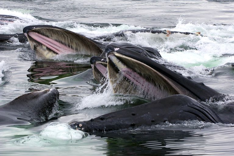 Feeding Humpback Whales, Alaska. Humpbacks are a mysticeti species and feed using baleen/