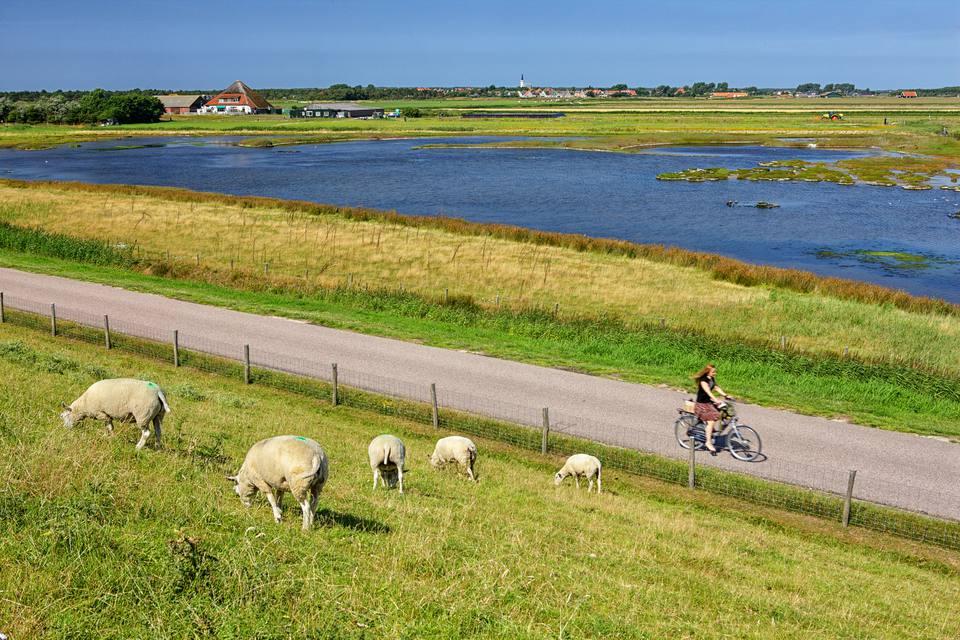 Netherlands, Texel Island, Den Burg, sheep grazing on dyke