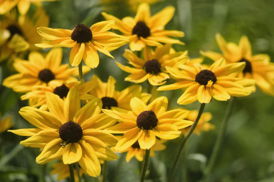 Which perennials survive best in sunny michigan gardens rudbeckia daisy flowers black eyed susan mightylinksfo Image collections