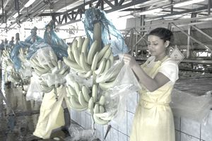 banana trade
