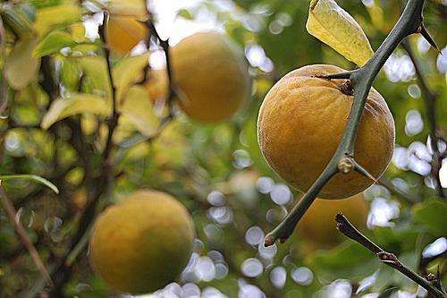 Bitter orange citrus on the tree