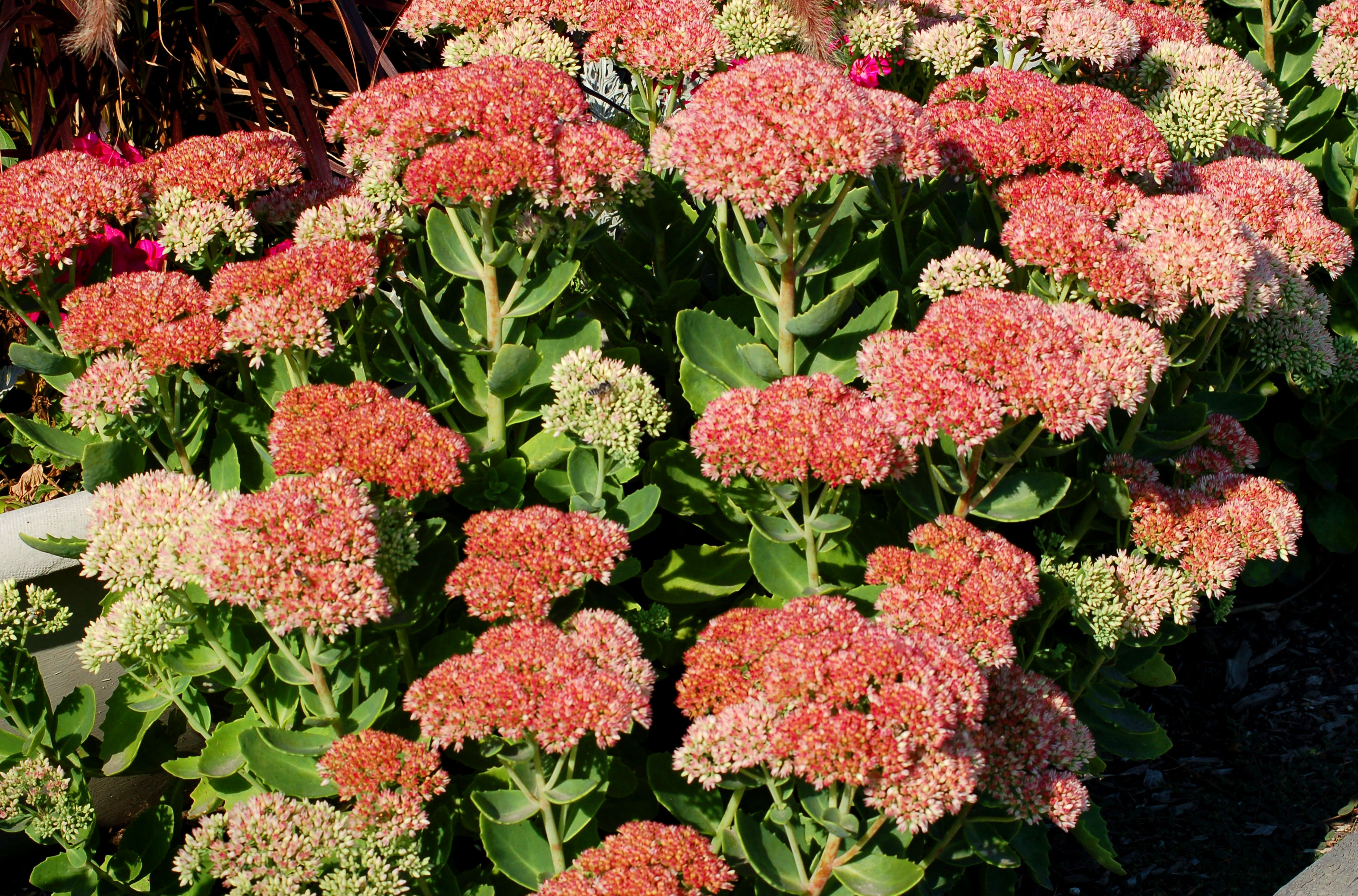 Autumn joy stonecrop flowers sedum plants for fall for Low maintenance fall flowers