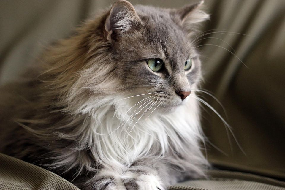 White And Grey Maine Coon
