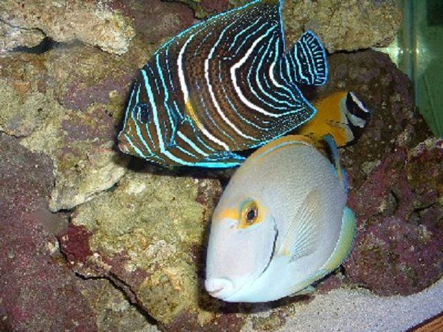 Juvenile Koran Angelfish (Pomacanthus semicirculatus)