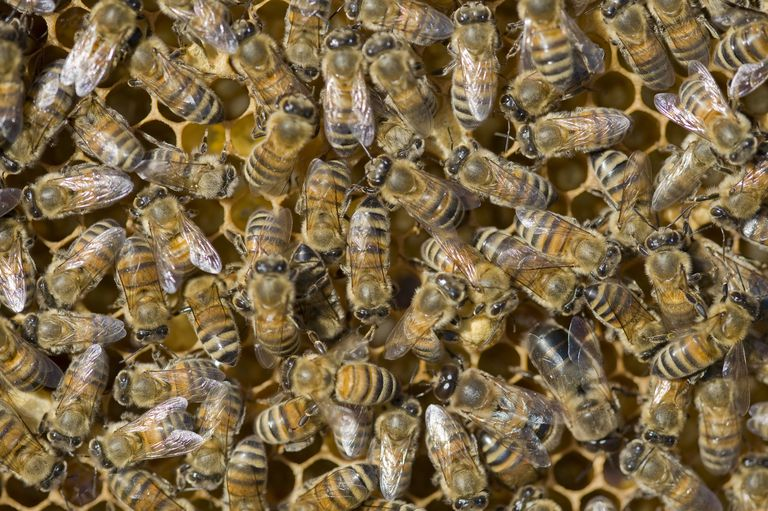 Honey bees are eusocial insects.