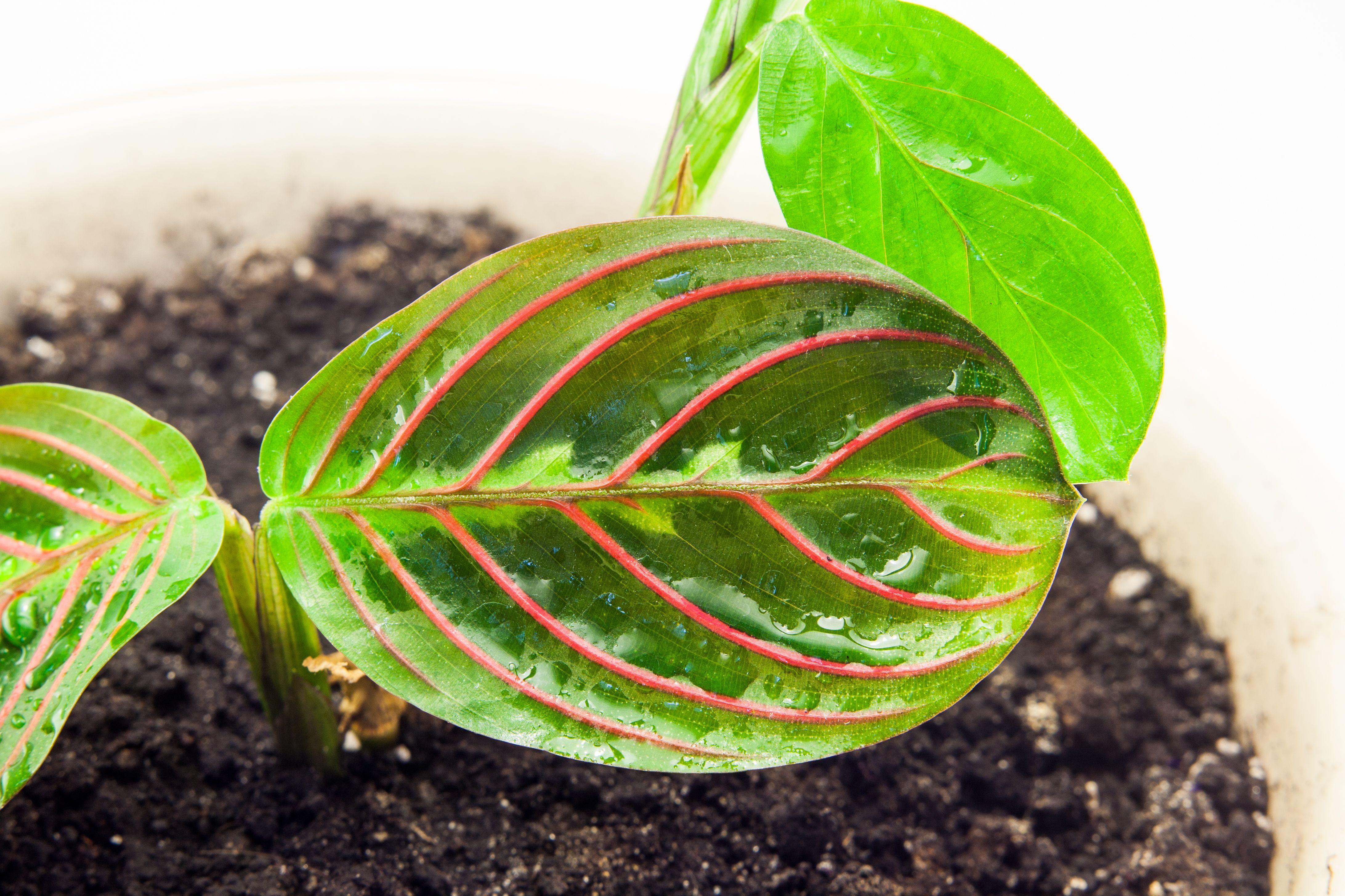 Expert Guide To Growing Maranta Inside