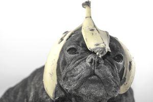 Bulldog with banana peel on his head