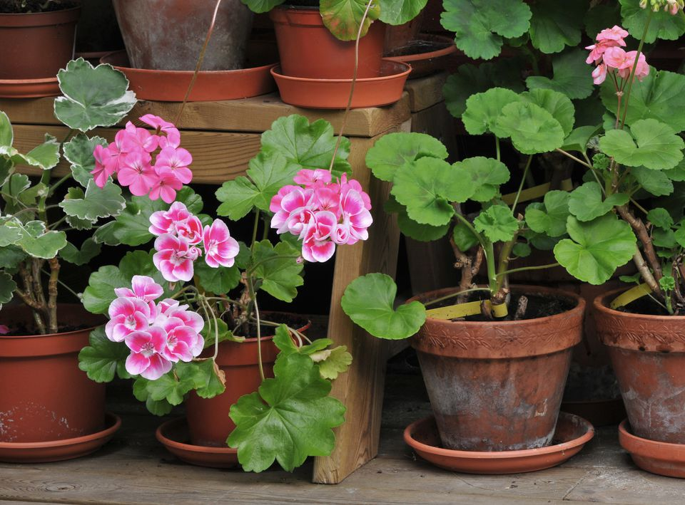 Tips for bringing outdoor plants indoors - Overwintering geraniums tips ...