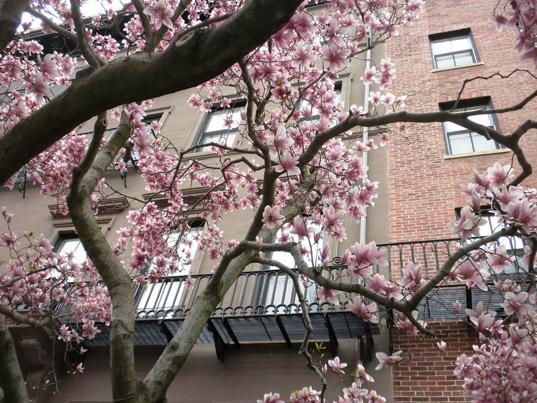 Magnolias on Beacon Street, Home of Fisher College