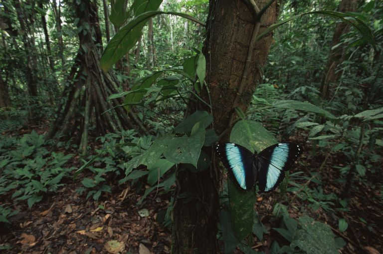 Blue morpho butterfly in rainforest.