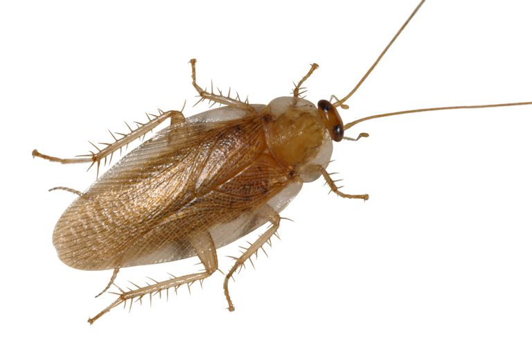 10 Fascinating Facts About Cockroaches - Cockroach Us Map