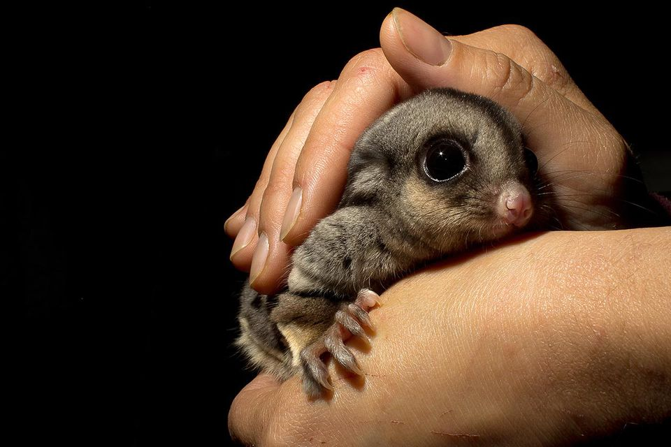 Sugar glider being held by pair of hands and cared for in wildlife ahelter in Victoria, Australia.