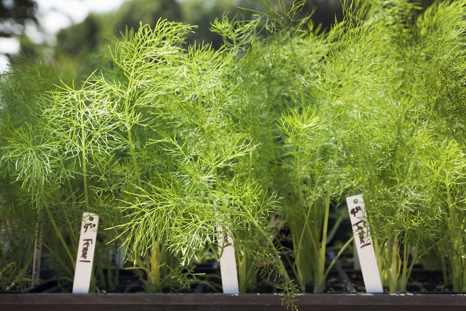 Natural Herb Fennel Seedling Plant in the Garden Center
