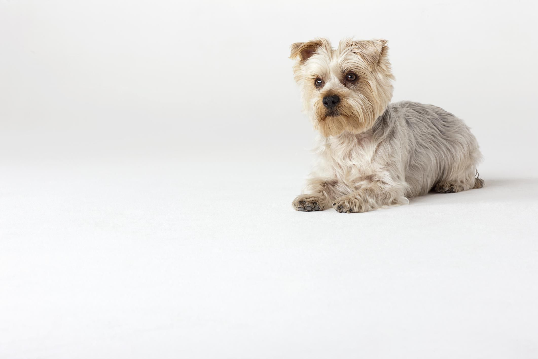 What Small Breed Dog Is The Best For An Apartment