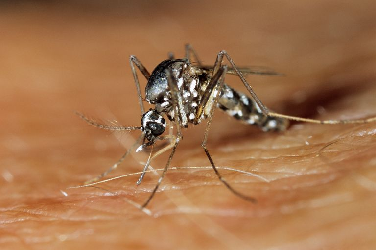 Asian tiger mosquito (Aedes albopictus) feeding on human blood.