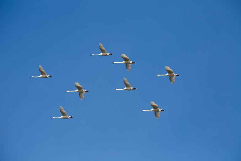 8 swans in the sky