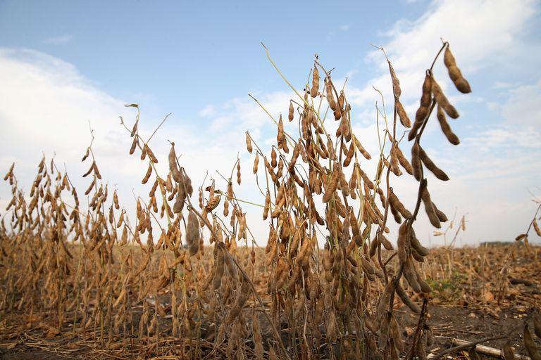 Grain Soybeans Ready to Harvest, Worthington, Minnesota, October 2013