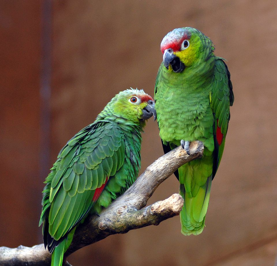 Red Lored Amazons