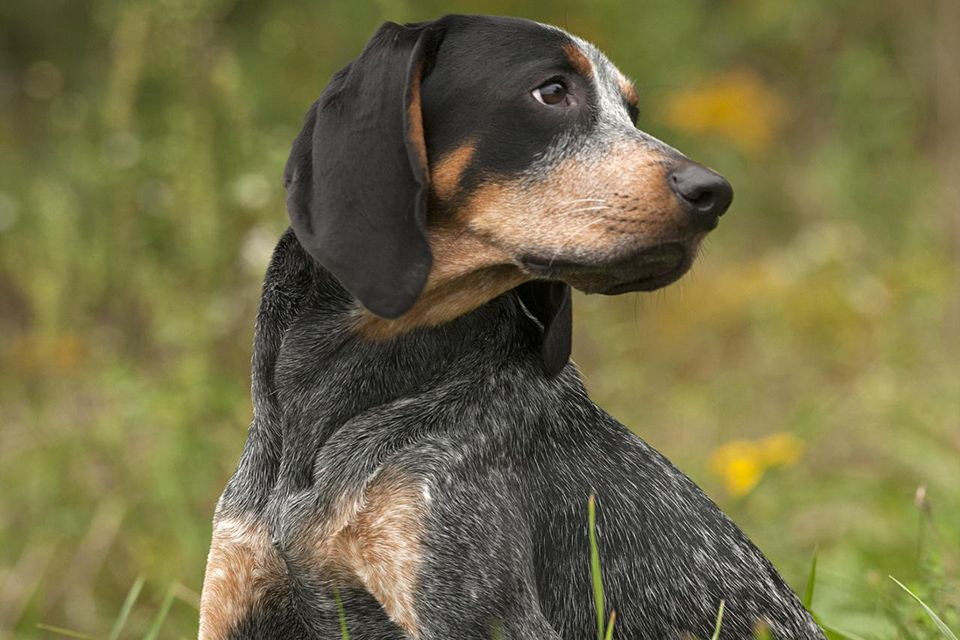 Bluetick coonhound dog breed information