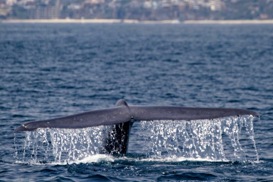 Blue Whale Diving Near Los Angeles