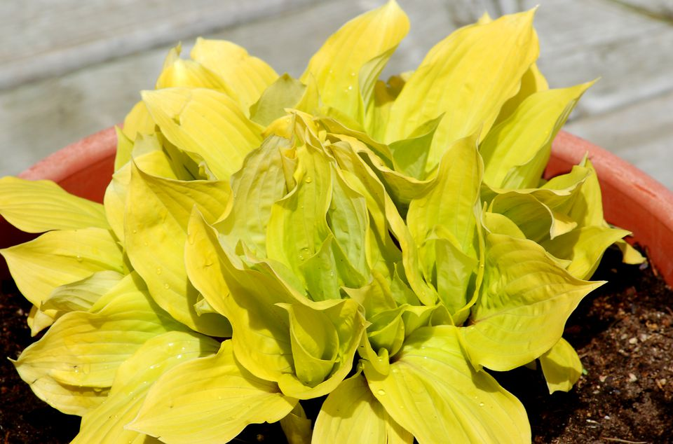 Fire Island hosta (image) is one of the best with golden leaves. It needs some sunlight.
