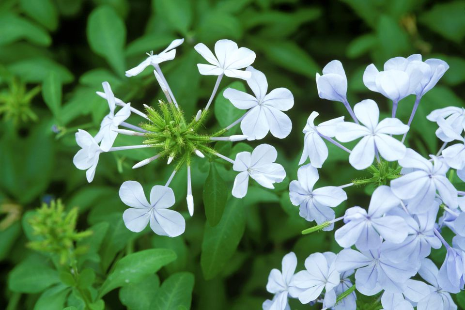 Plumbago auriculata syn. p. capensis (cape leadwort). shrub. close up of pale blue flowers and green leaves.