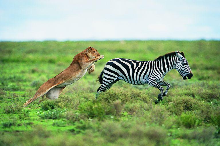 Lion (Panthera leo) Hunting a Zebra (Burchell's zebra)