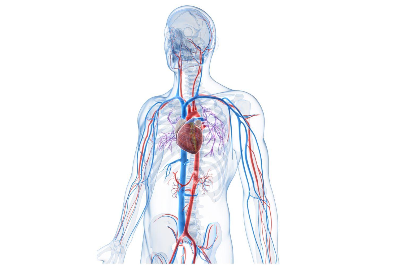 Anatomy of the vein