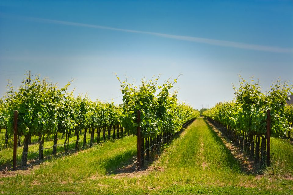 Rows of grapes in a small family vineyard common in Brentwood California