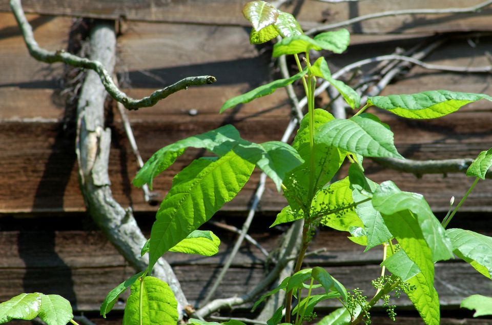 Picture of poison ivy climbing a clapboard-sided house.