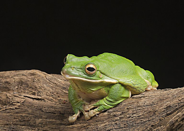 Amphibians as totems for Frog transformation