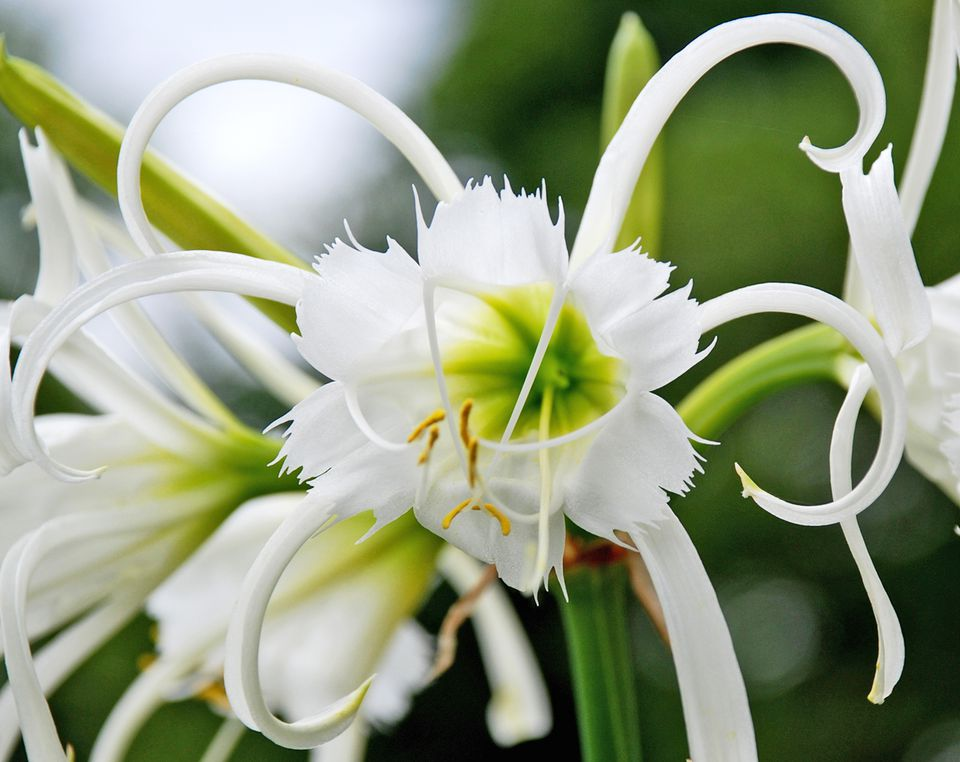 Spider Lily (Hymenocallis spp.)