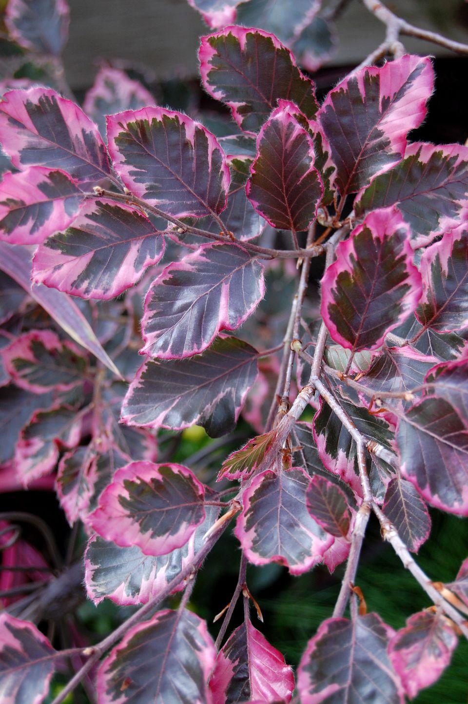Fagus sylvatica - Tri Color Birch Tree leaf photos
