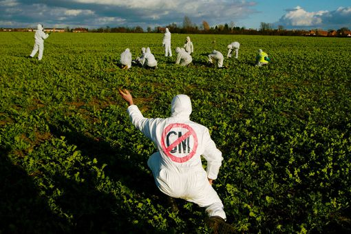 A protester tears up a genetically modified (GM) oil seed rape plant March 9, 2002 at a demonstration against genetically modified crops at a farm in Long Marsden in Warwickshire, England.