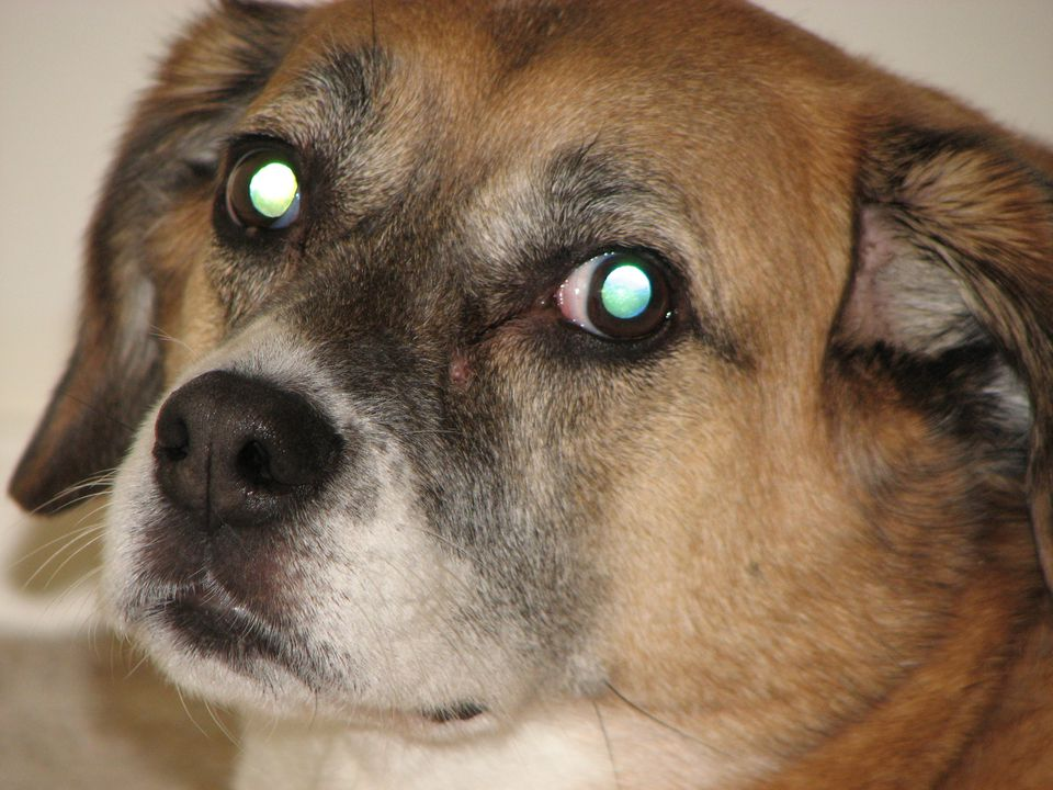 Dog with green eyes
