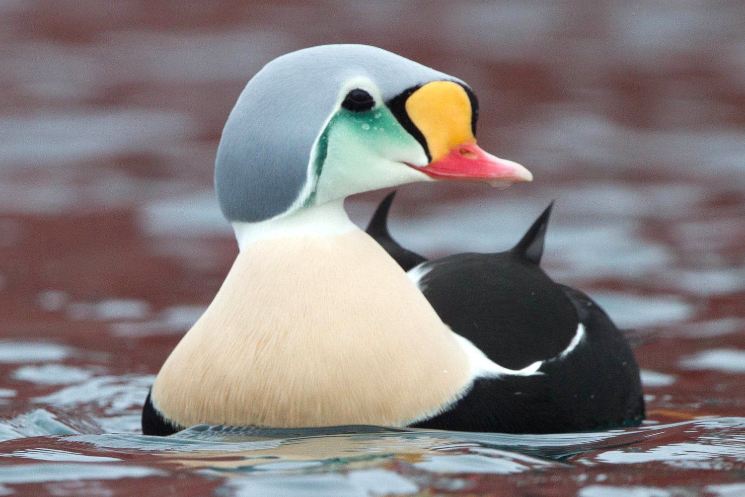 king eider 5a43b2abbeba3300374797df
