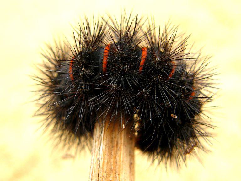 Caterpillar playing dead.