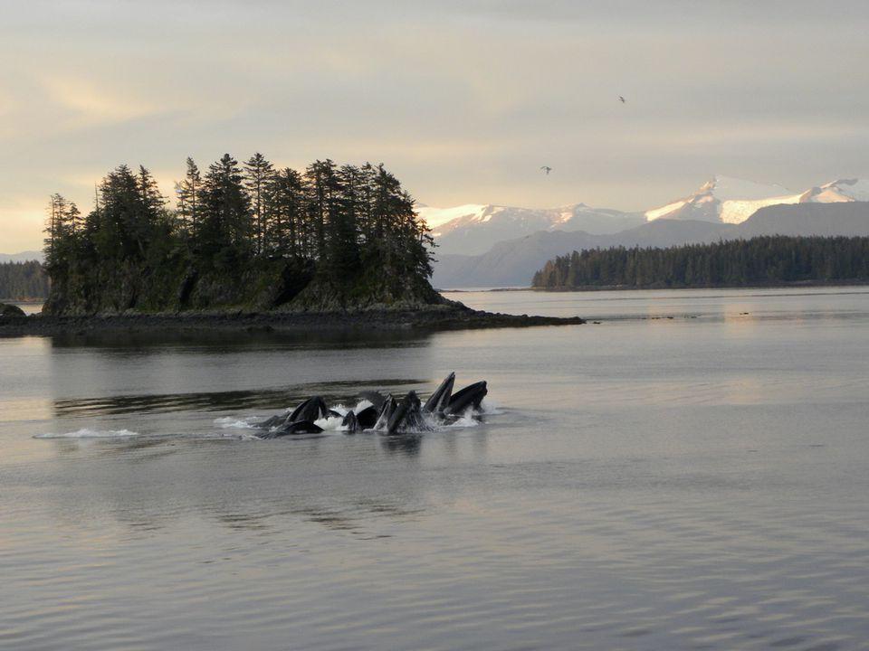 Humpback whales bubble feeding in Alaska