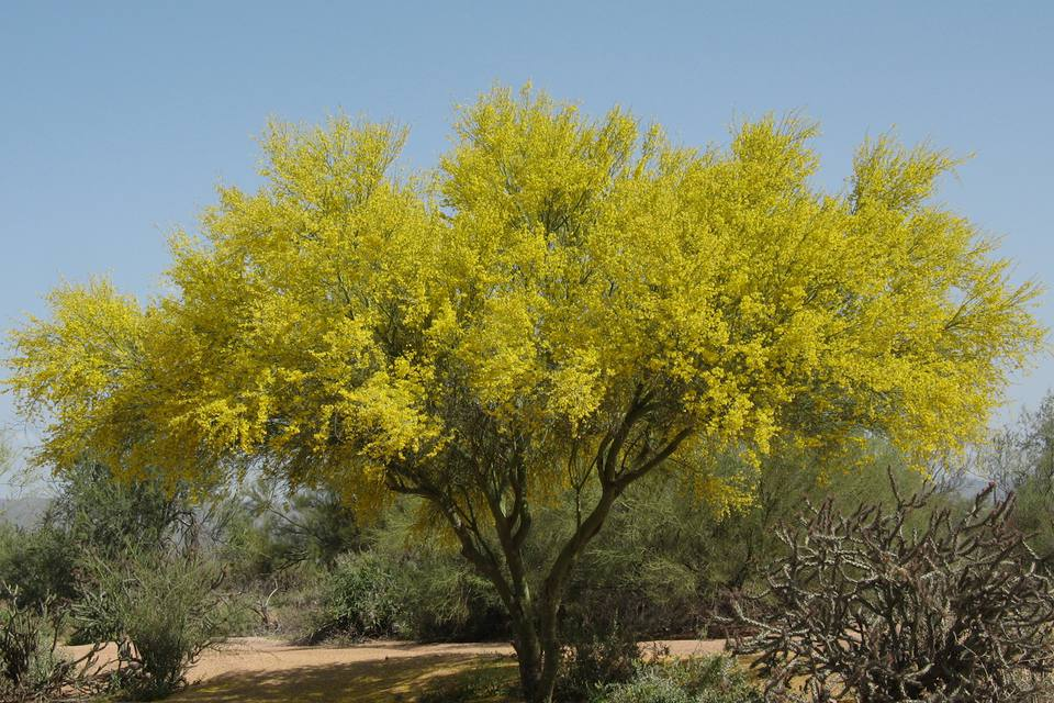 Palo verde is the arizona state tree mightylinksfo