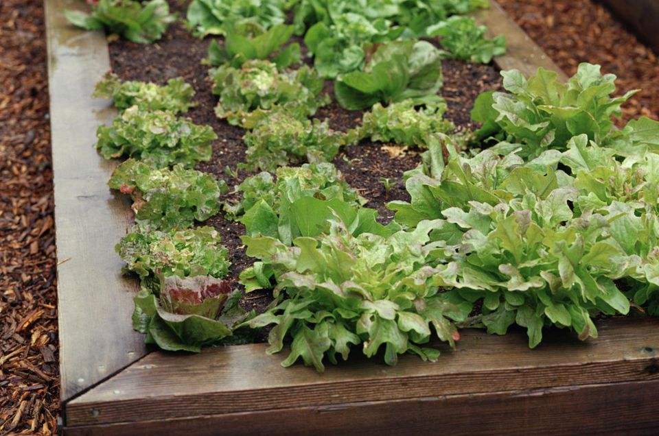 Raised bed with leaf lettuce