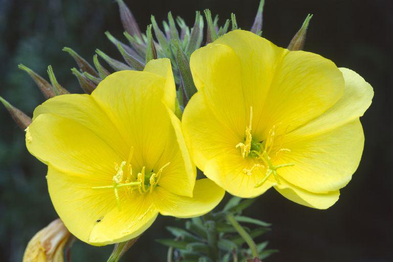 Common Evening Primrose, Evening Star (Oenothera biennis)