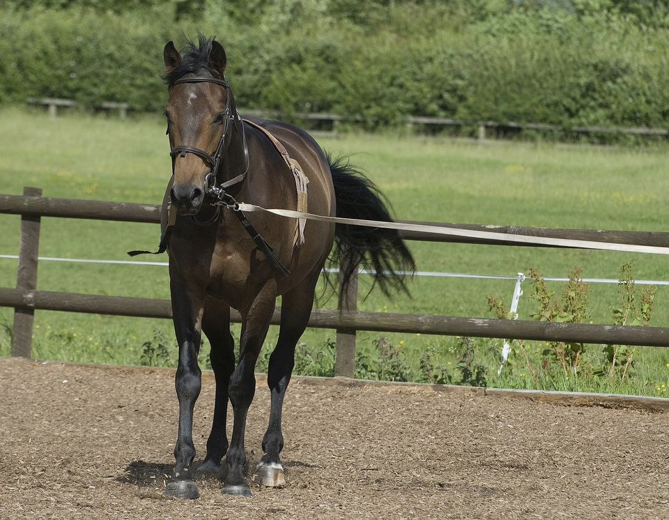 Horse being lunged in lunging aids.