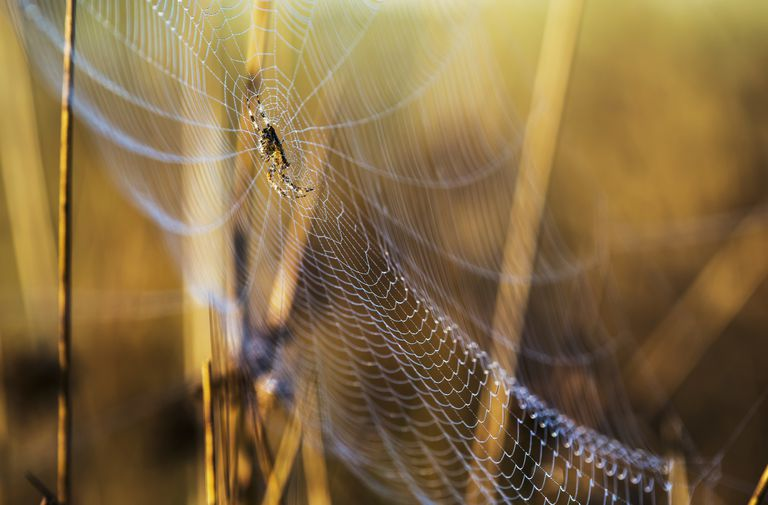 An Orb-Weaver spider rests on her web; Astoria, Oregon, United States of America