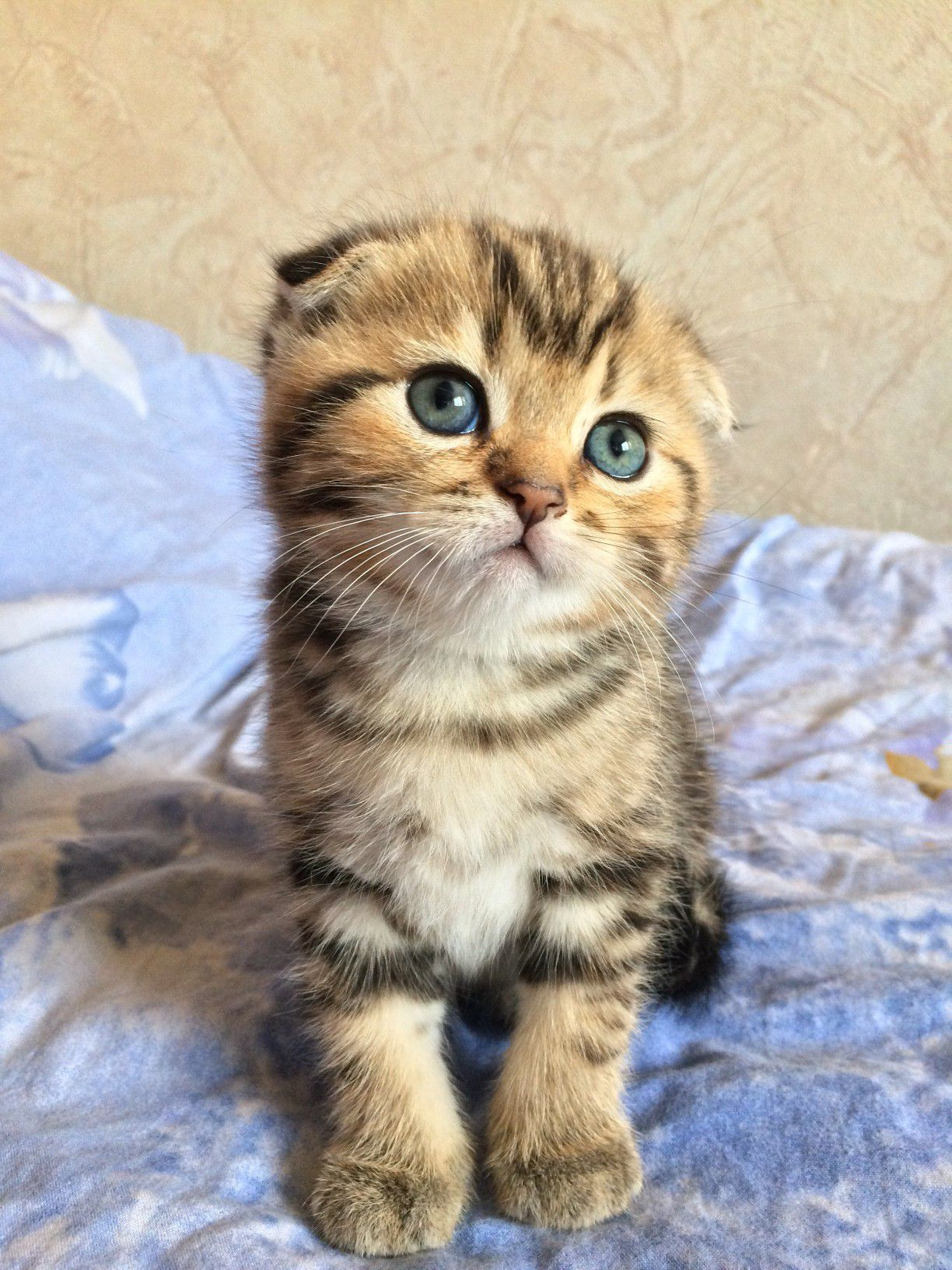 Scottish Fold Cat Breed For Sale
